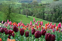 Tulipa 'Jacqueline'