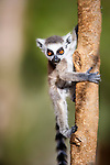 Infant Ring-tailed Lemur (Lemur catta)(6-8 weeks) climbing in low vegetation. Berenty Private Reserve, southern Madagascar.