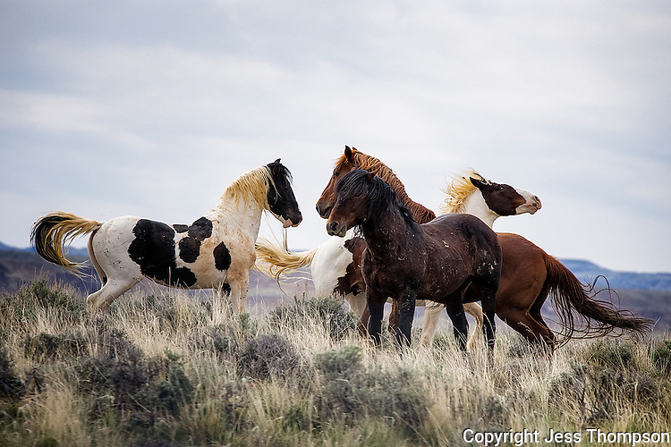 Wild Horses, McCullough Peaks Range, Cody
