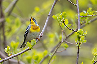 Northern Parula (Setophaga americana), male in breeding plumage foraging and singing during migration at Doodletown, Bear Mountain State Park, New York.
