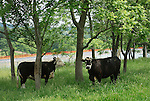 Cows stranding near fresh water holding pond. Chief Oil and Gas. Lycoming county...........................................