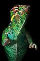 Panther chameleon {Furcifer pardelis}, Madagascar.