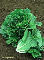 HS21-160x  Lettuce - Romulus variety - romaine