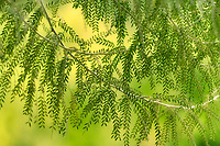 Close up of unidentified tree leaves. Palm Springs, California