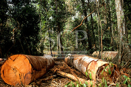 Para State, Amazon, Brazil. Trees felled by loggers lying on the floor of the rainforest.