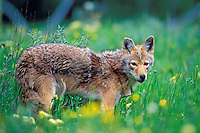 Wild Coyote in meadow of wildflowers.  Western U.S., June.