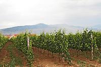 Vineyard. Alpha Estate Winery, Amyndeon, Macedonia, Greece