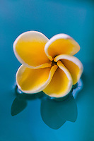 Close up of fragrant plumeria floating on water