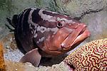 Nassau Grouper full body view 45 degrees to camera