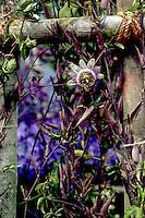 Passiflora caerulea Passion flower climbing vine on rustic trellis