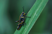 Grasshopper, Acrididae, adult, Everglades National Park, Florida, USA, Dezember 1998
