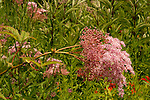 Queen of the Prairie Filipendula rubra