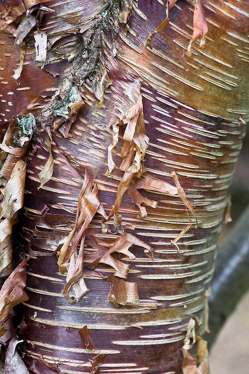 Trunk and bark of Himalayan birch (Betula utilis var. prattii).