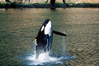 orca or killer whale, Orcinus orca, Keiko, the killer whale star of the blockbuster Hollywood movie, Free Willy, breaching in open ocean, Vestmannaeyjar, Westman Islands, Iceland, North Atlantic Ocean