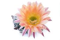 Echinopsis 'Day Dream' (diam. fl. 10cm)