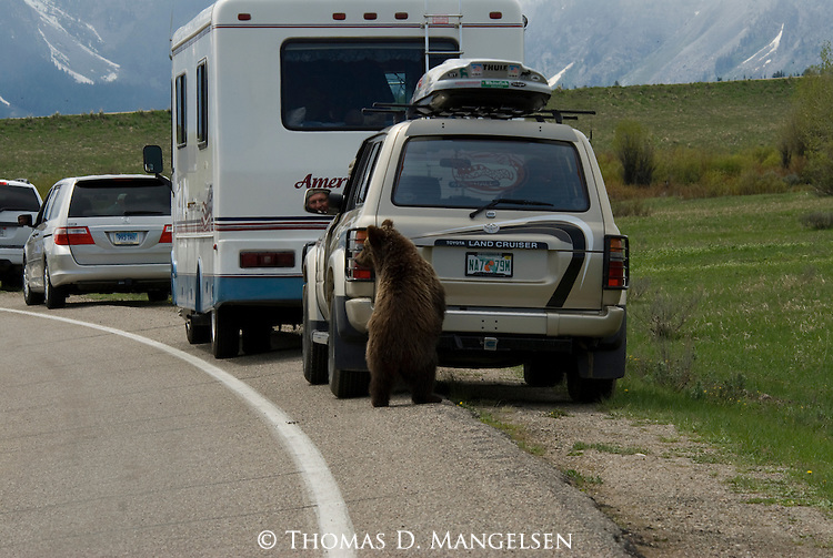 Grizzly cub at a tourist's car in Grand Teton National Park.