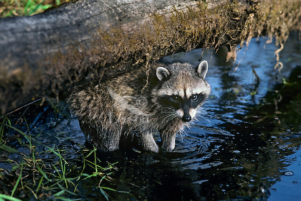 Raccoon hunts for food by feeling with its front feet along edge of wetland area.  Pacific Northwest.