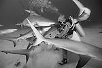 Grand Bahama Island, The Bahamas; a scuba diver, in a chain mail shark suit, hand feeding Caribbean Reef Sharks