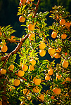 Italien, Trentino, bei Cles: Golden Delicious auch Gelber Koestlicher genannt | Italy, Trentino, near Cles: Golden Delicious apple tree