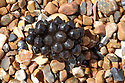 Common Cuttlefish eggs (Sepia officinalis) washed ashore following  a storm. Hove, East Sussex, UK. July.