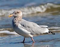 Adult herring gull in winter plumage