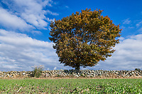 Rural stone wall and lone autumn tree, Wakefield, Rhode Island, USA.