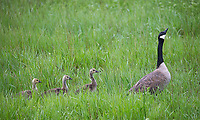 A Canada goose leads a parade of goslings.