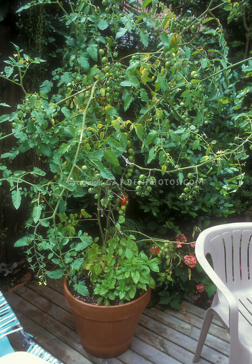 Cherry tomato 'Sweet 100'  with basil herb Ocimum in pot container garden of vegetables on backyard deck, fresh tomatoes