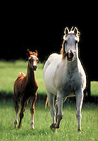 Arabian mare and foal in pasture trot towards camera. Vertical. horse, horses, animals,.