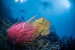 Red Whip Coral (Ellisella cercida), and yellow gorgonian, Raja Ampat