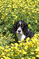 0730-0807  Tricolor English Springer Spaniel, Canis lupus familiaris © David Kuhn/Dwight Kuhn Photography.