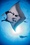 San Benedicto Island, Revillagigedos Islands, Mexico; a scuba diver next to a chevron manta ray swimming overhead while partially blocking out the sun
