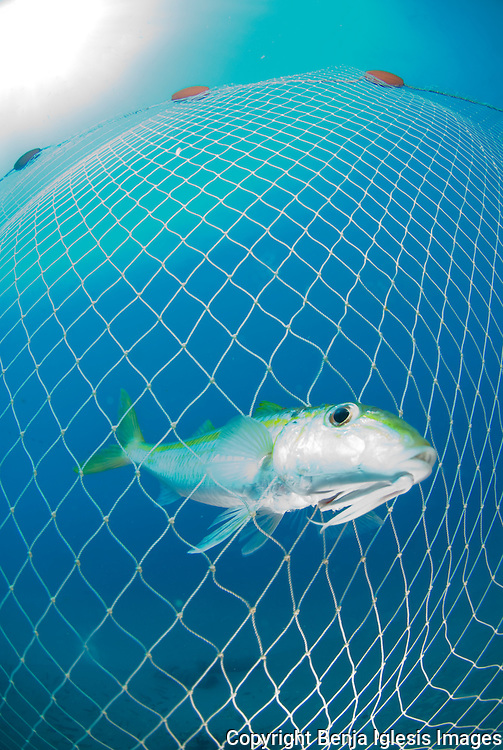 Blue striped snapper cought in a fishing net at the st Anthonys wreck Maui Hawaii.