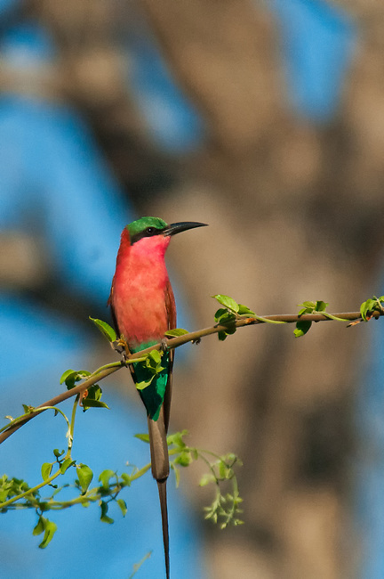 Southern Carmine Bee Eater, South Luangwa National Park