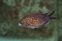 Mönchsfisch, Mönchs-Fisch, Seeschwalbe, Schwalbenschwanz, Chromis chromis, Sparus chromis, Damselfish, Damsel fish, Mediterranean chromis