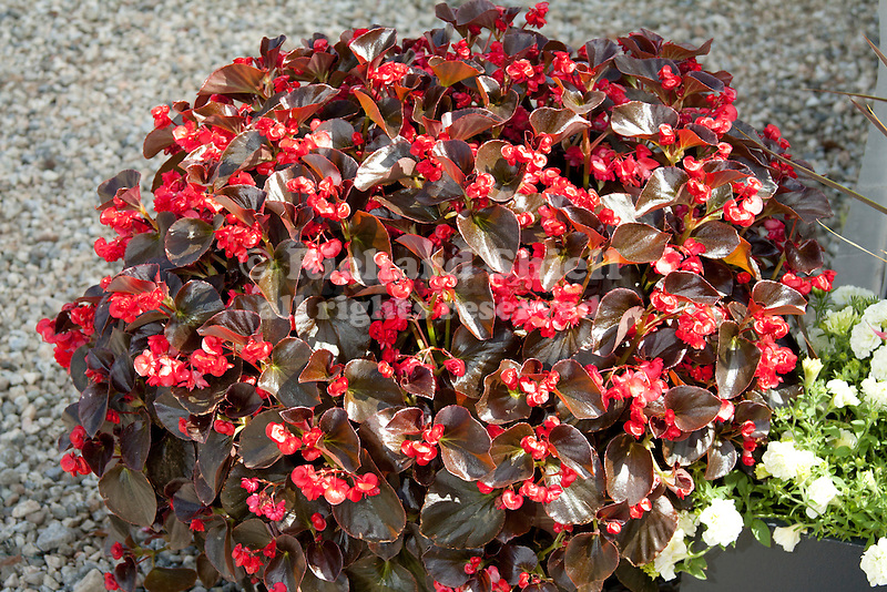 BEGONIA 'GUMDROPS COCOA RED'