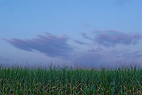 Corn stalks at sunset<br />