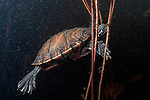 Plymouth red-bellied cooter swimming in Burrage pond, Hanson, Massachusetts, side view
