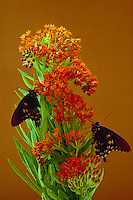 Swallowtail Butterflies on blooming butterfly weed stalk