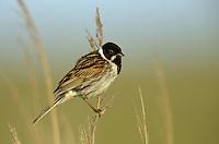 Rohrammer, Männchen im Schilf, Rohr-Ammer, Emberiza schoeniclus, reed bunting