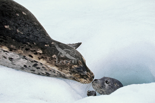 Harbor seal (Phoca vitulina) female with very young pup on glacier ice (tidewater glacier) in S.E. Alaska.  Harbor seal often give birth on these floating chunks of ice.