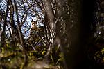 Balkan Lynx (Lynx lynx balcanicus) eleven month old kitten, Mavrovo National Park, North Macedonia