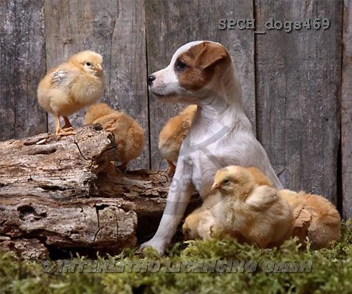 Xavier, ANIMALS, dogs, photos(SPCHdogs469,#A#) Hunde, perros