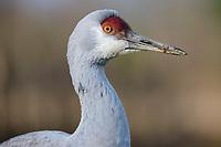 Sandhill Crane (Grus canadensis). British Columbia, Canada. December.