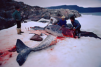 Inuit hunters butcher a Narwhal, Monodon monoceros, By law Narwhal must be hunted using a kayak & a harpoon. Northwest Greenland, Arctic