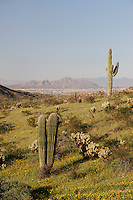 City of Phoenix and Desert in bloom with Saguaro Cactus (Carnegiea gigantea), South Mountain Park, Phoenix, Arizona, USA