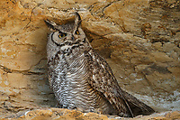 Adult female Great Horned Owl (Bubo virginianus) roosting. Sublette County, Wyoming. June.