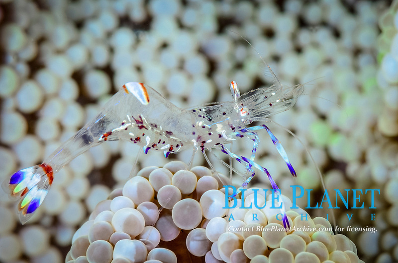 Holthuis' anemone shrimp, Ancylomenes holthuisi, Lembeh Strait, North Sulawesi, Indonesia, Pacific