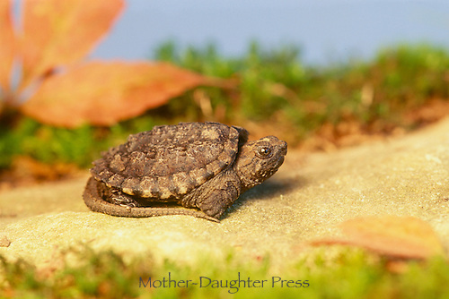 Newborn Baby snapping turtle, Chelydra serpentina serpentina, resting on rock Midwest, USA