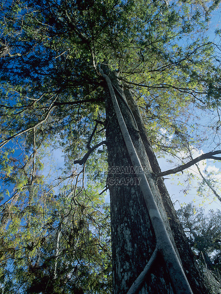 Cypress tree with strangler fig, Corkscrew Swamp Sanctuary, Florida, December 1998